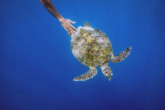 Havssköldpadda, Gilli ö, lombok Arkivbilder
