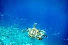 Havssköldpadda, Gilli ö, lombok Arkivfoto