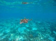 Havssköldpadda i blått vatten av den tropiska lagun Grön sköldpadda som simmar det undervattens- nära fotoet Arkivfoto