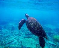 Havssköldpadda i blått vatten vid korallreven, Filippinerna, Apo-ö Olivgrön ridleysköldpadda i det blåa havet Royaltyfria Foton