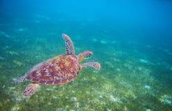 Havssköldpadda i den tropiska lagun Closeup för sköldpadda för grönt hav Djurliv av den tropiska korallreven Arkivbilder