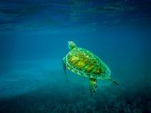 Havssköldpadda i det karibiska havet - Caye Caulker, Belize Royaltyfri Bild