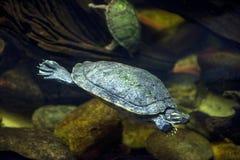 Havssköldpadda i ett akvarium Arkivbilder