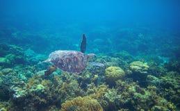 Havssköldpadda i tropiskt havsvatten Closeup för sköldpadda för grönt hav Djurliv av den tropiska korallreven Arkivfoton