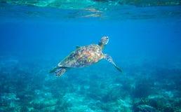 Havssköldpadda i turkosblått vatten Closeup för sköldpadda för grönt hav Djurliv av den tropiska korallreven Arkivfoto