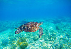 Havssköldpadda i vatten Exotisk ökustmiljö i den tropiska lagun Royaltyfri Fotografi