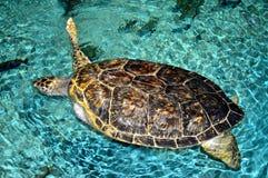 Havssköldpadda med saknadarmen Arkivfoton