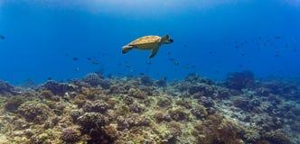 Havssköldpadda och många fisk på den tropiska reven under vatten Royaltyfri Foto