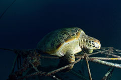 Havssköldpadda på den undervattens- korallreven Royaltyfria Foton