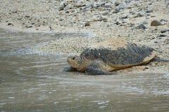 Havssköldpadda på dess väg in i havet, Zamami, Japan royaltyfri bild