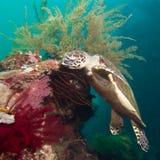 Havssköldpadda på en korallrev Arkivfoton