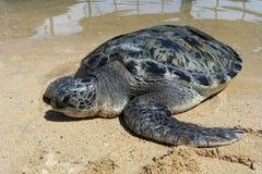 Havssköldpadda på stranden Arkivfoto