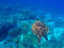 Havssköldpadda som är undervattens- i den blåa tropiska lagun Arkivbild