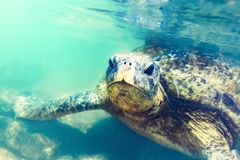 Havssköldpadda som är undervattens- på den Hikkaduwa stranden Arkivbilder