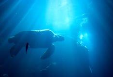 Havssköldpadda som svävar över härlig naturlig havbakgrund Royaltyfri Bild