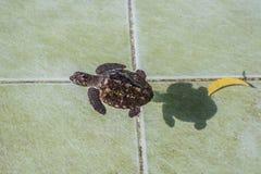 Havssköldpaddan simmar i behandlingpölen för beskydd på reservation för havssköldpaddan royaltyfri bild