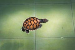 Havssköldpaddan simmar i behandlingpölen för beskydd på havssköldpaddan royaltyfri foto