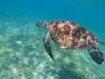 Havssköldpaddan simmar i det blåa havet Havssköldpadda i den tropiska kusten, undervattens- foto av marin- djurliv royaltyfria foton