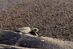 Havssköldpaddan ta sig en tupplur Royaltyfri Bild