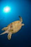 havssköldpaddaunderview arkivbild