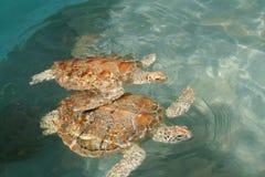 havssköldpaddor arkivbild