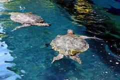 havssköldpaddor Royaltyfri Fotografi