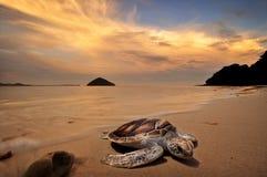 Havssköldpaddor Royaltyfria Foton