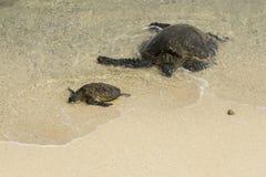 Havssköldpaddor på den Hookipa stranden Maui arkivfoto