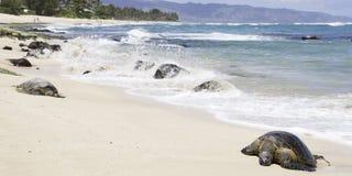 Havssköldpaddor på sköldpaddastranden arkivbilder
