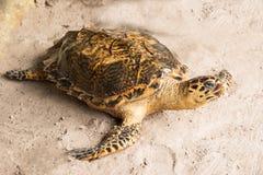 Havssköldpaddor på stranden arkivbild