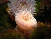Havsskönhet Arkivfoton