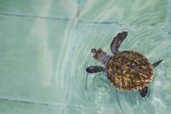 Havssk?ldpaddan simmar i behandlingp?len f?r beskydd p? havssk?ldpaddan royaltyfri fotografi