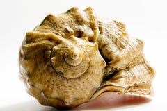 havsskal Arkivfoto