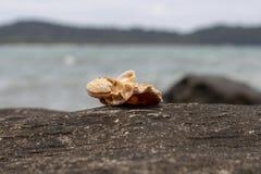 Havsskal på den vulkaniska stenen vid sjösidan Avslappnande havssikt och snäckskal Vitt skal på den svarta stenen nära havet Arkivfoton