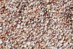 Havsskal på sandstranden Sammansättning av exotiska havsskal Skal av den olika sorten som bakgrund Lekmanna- lägenhet Små kammuss Royaltyfri Foto
