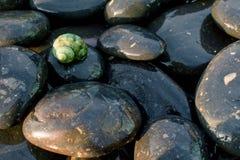 Havsskal på svartstenar 10 Royaltyfri Foto