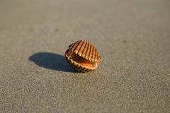 Havsskalet på stranden arkivbild