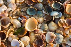 havsskaltextur Royaltyfria Bilder