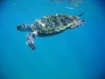 havssköldpadda Arkivfoton