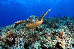 Havssköldpadda Royaltyfri Foto