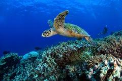 Havssköldpadda Royaltyfri Bild
