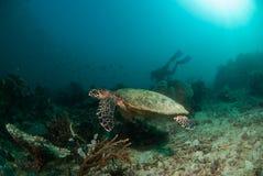 Havssköldpadda Chordota, Raja Ampat, Indonesien Fotografering för Bildbyråer
