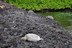 Havssköldpaddor på stranden Arkivbilder