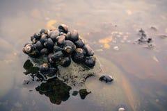 Havssniglar på de Fitzgerald Marine Reserve tidepoolsna royaltyfri bild