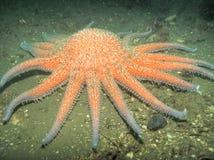 havsstjärnasolros Arkivfoton