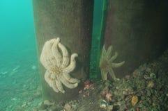 Havsstjärnor på pir Arkivfoto