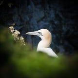 Havssula - Morus - Sulidae - Bempton klippor - North Yorkshire Arkivfoton