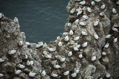 Havssulan som bygga bo på en utlöpare av, vaggar över Nordsjön nära Bem Royaltyfria Bilder
