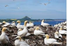 Havssulor som föder upp på Bassrock royaltyfri fotografi