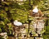 Havssulor som sitter på på klippor Arkivbild